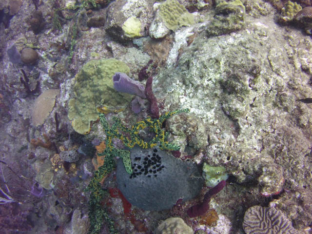 Coral in Dominica